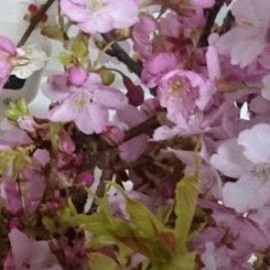 河津桜蒸留会